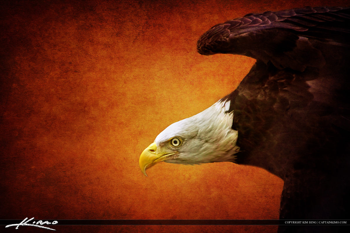 American Bald Eagle at Busch Wildlife
