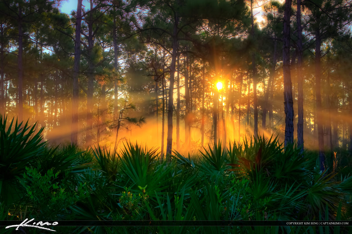 Sunrise at Pine Forest and Palm Scrubs