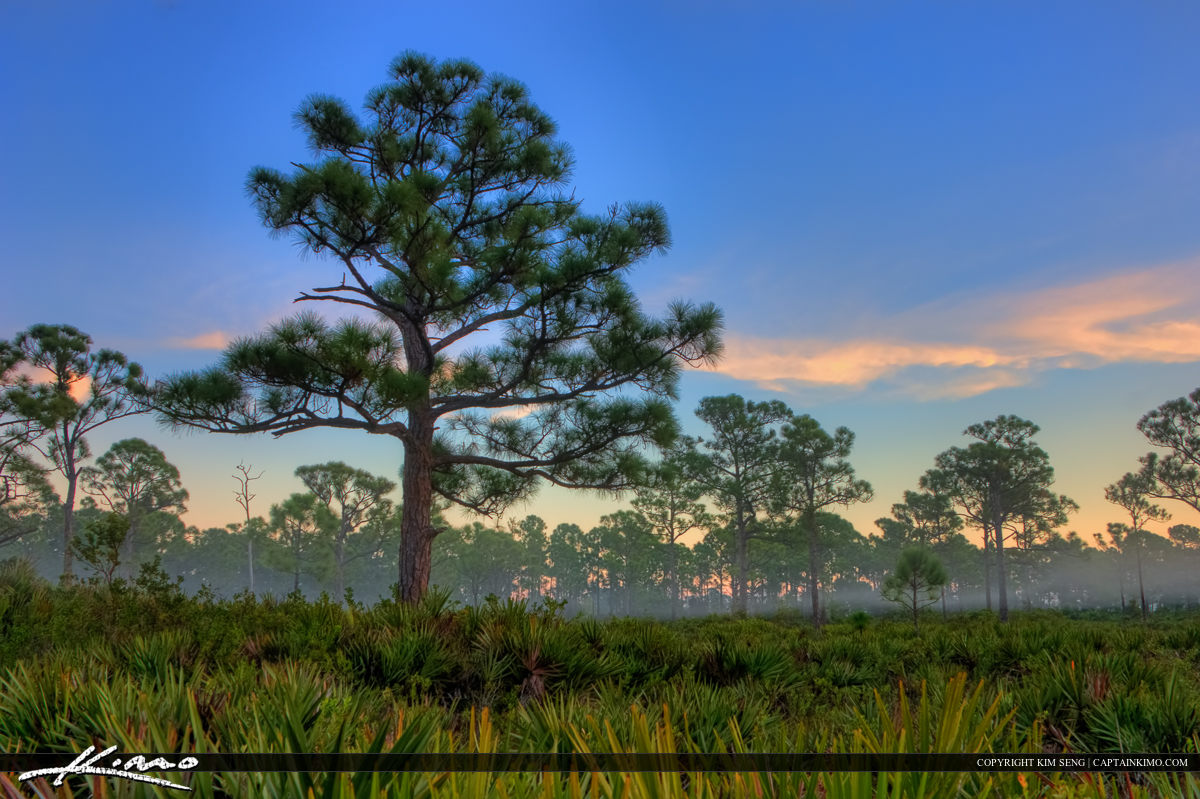 Pine Tree in Foggy Forest in Jupiter Florida
