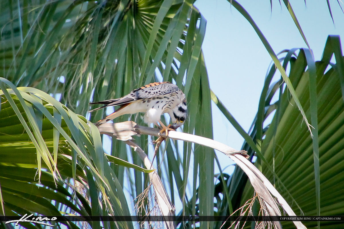Florida American Kestrel Perched on Palm Eating a Lizard