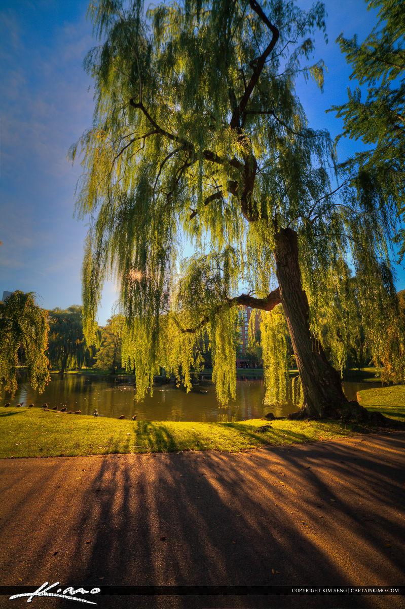 Weeping WIllow Tree at Boston Public Garden Downtown Massachusetts