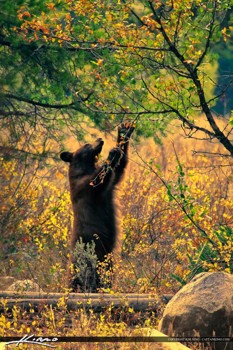 Bear from Grand Teton National Park Eating