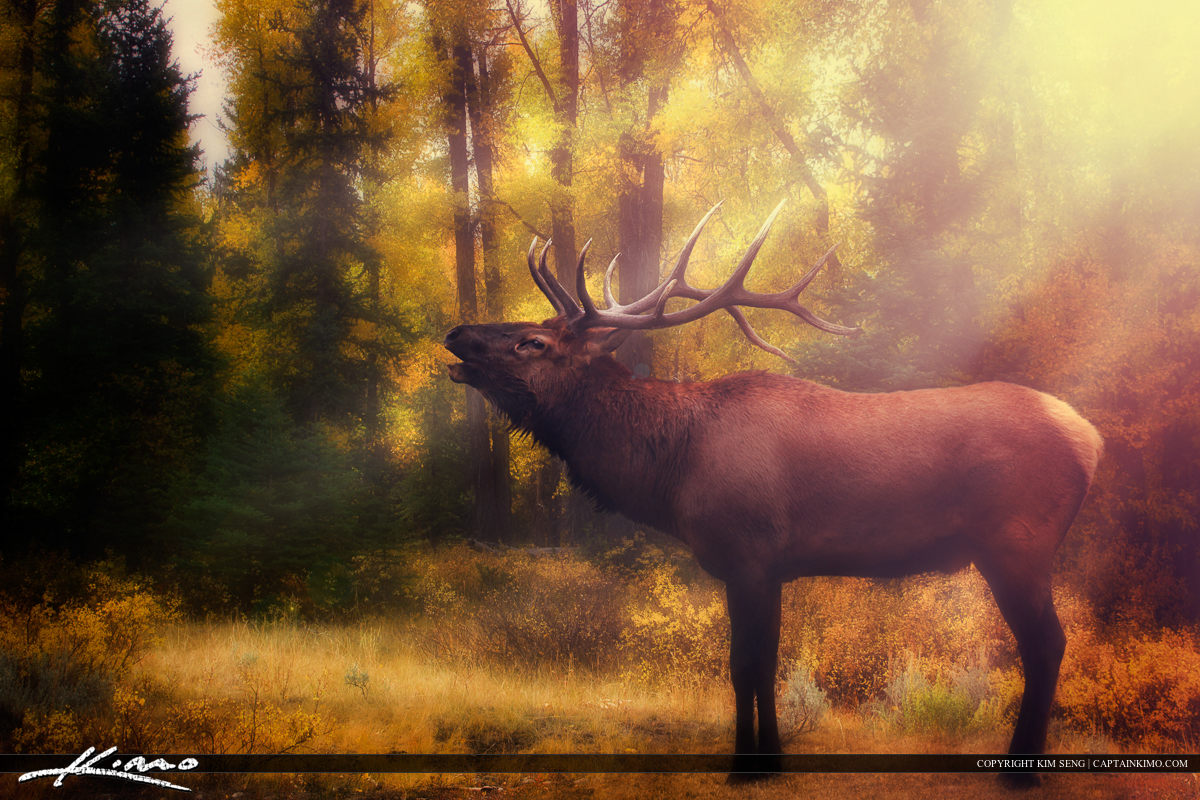 Six-point Bull Elk from Yellowstone National Park