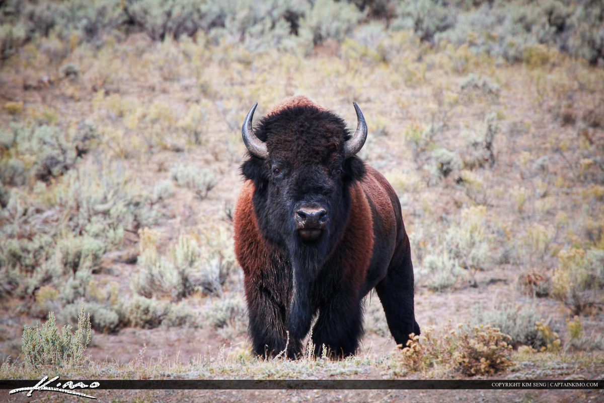 Wild Bison at Lamar Valley in Yellowstone National Park Wyoming