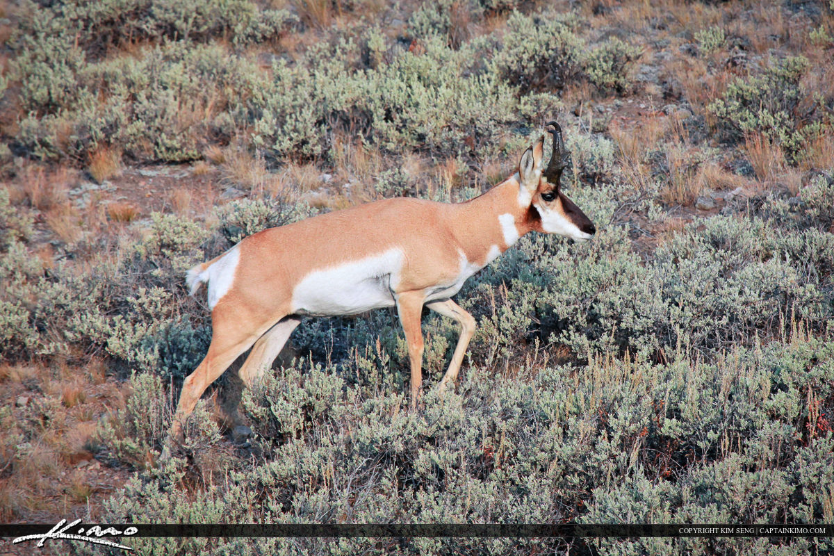 Pronghorn Roaming the Plains at Yellowstone National Park Wyoming