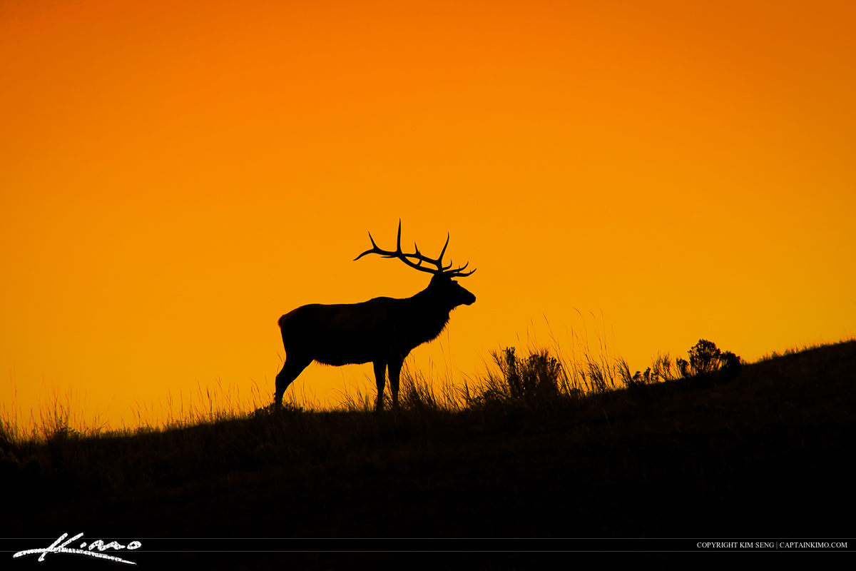 Large Bull Elk on Hill During Sunrise at Mammoth Springs
