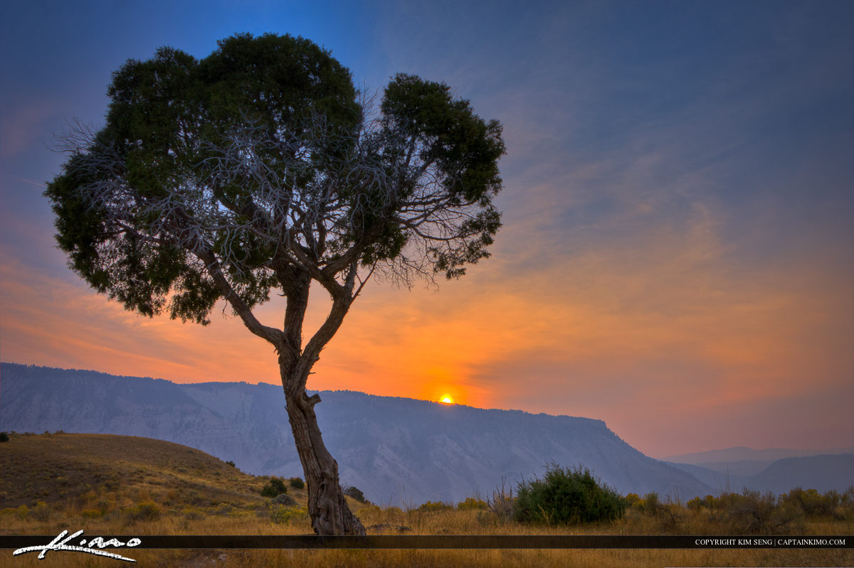 Juniper Tree at Mammoth Hot Springs Yellowstone During Sunrise