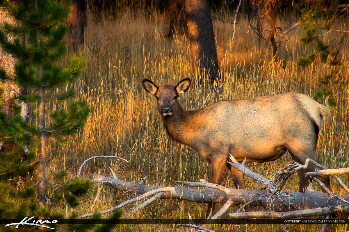 Female Elk in Woods at Yellowstone National Park