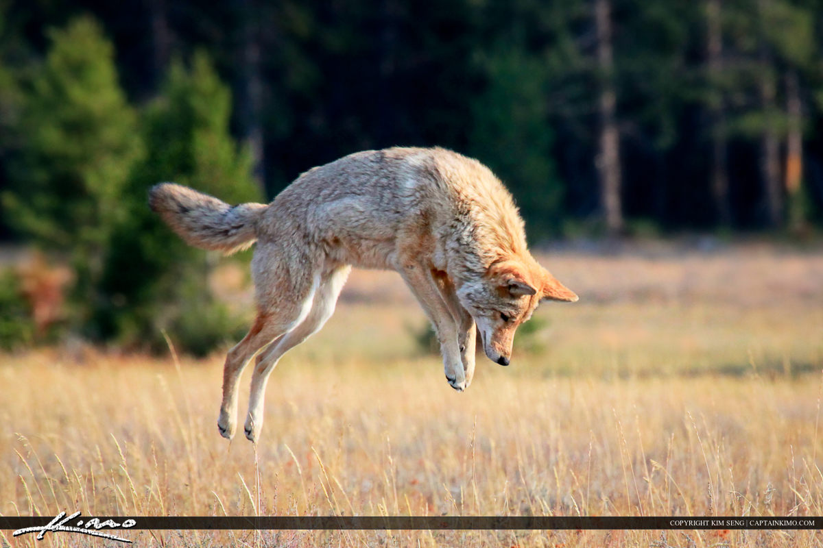 Coyote on the Hunt  Pouncing for Prey at Yellowstone National Park