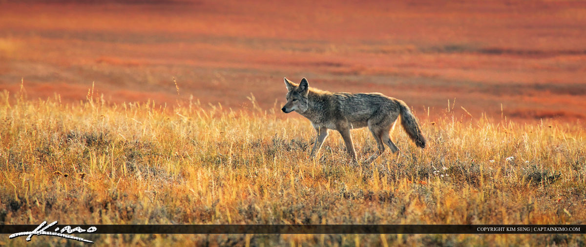 Coyote on the Prowl at Yellowstone National Park Wyoming