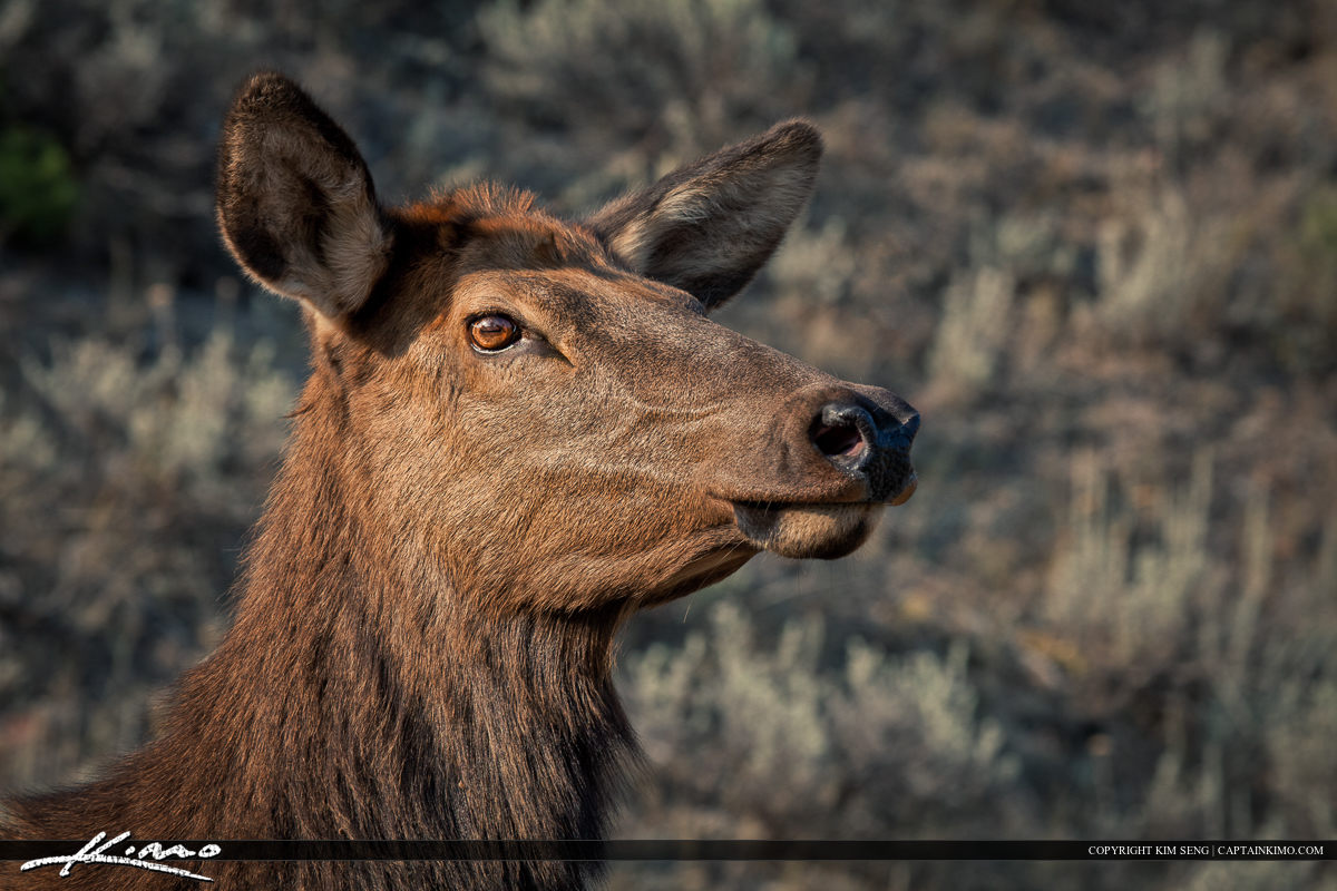 Female Elk Head Shot from Yellowstone National Park Mammoth Hot Springs