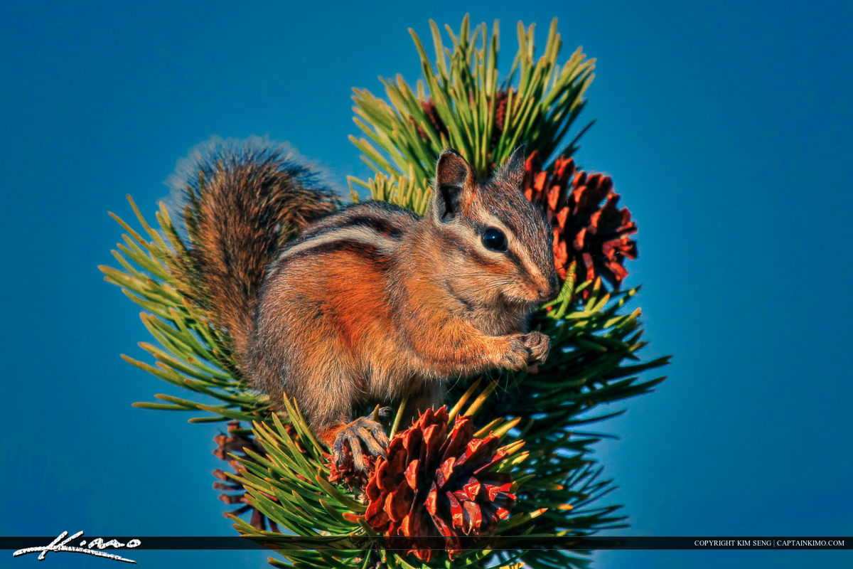 Chipmunk On Pine Tree in Yellowstone National Park