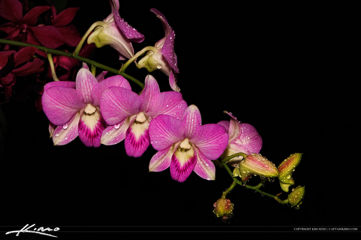 Orchid from Backyard After Light Rain Storm