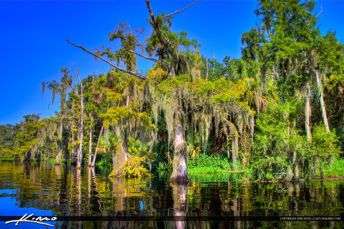 Cypress Tree with Spanish Moss at Fish Eating Creek