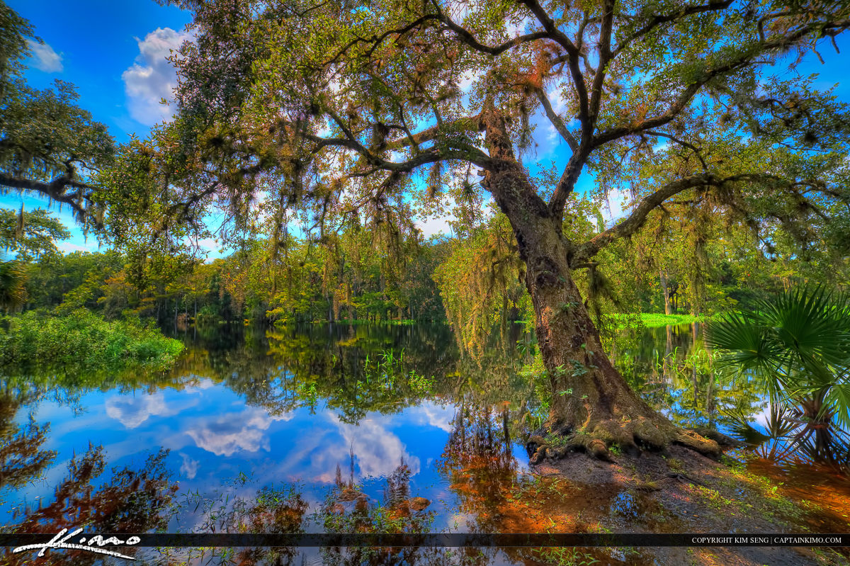 Live Oak Growing Over Fisheating Creek River at Palmdale Florida