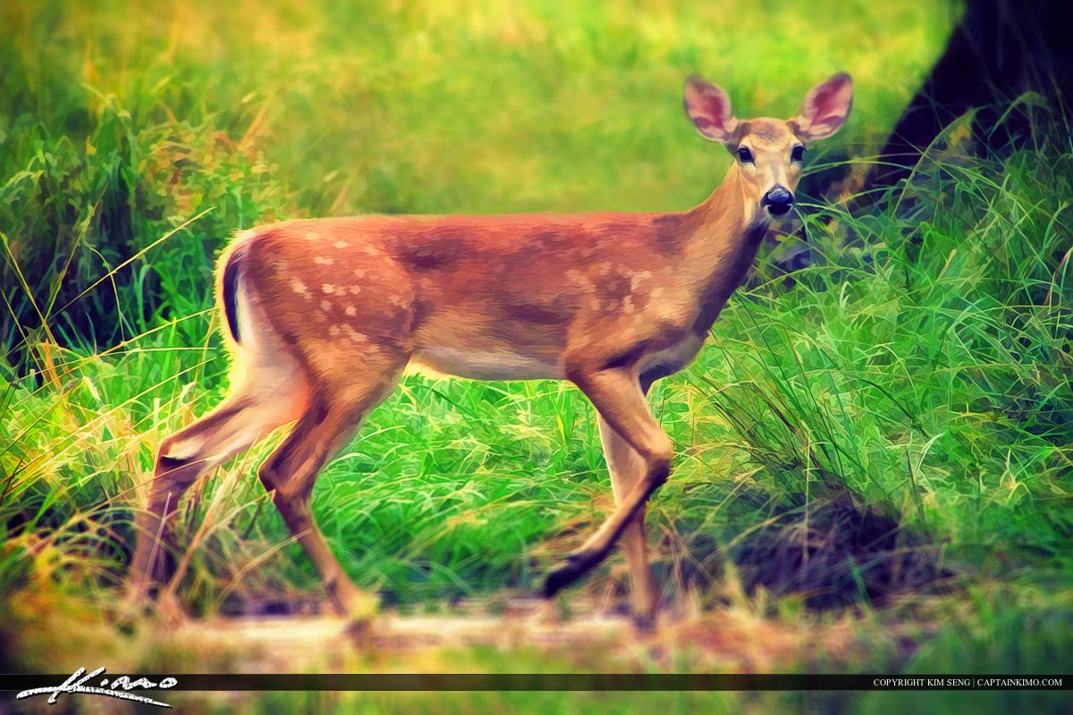 Wild Deer at Riverbend Park Jupiter Florida