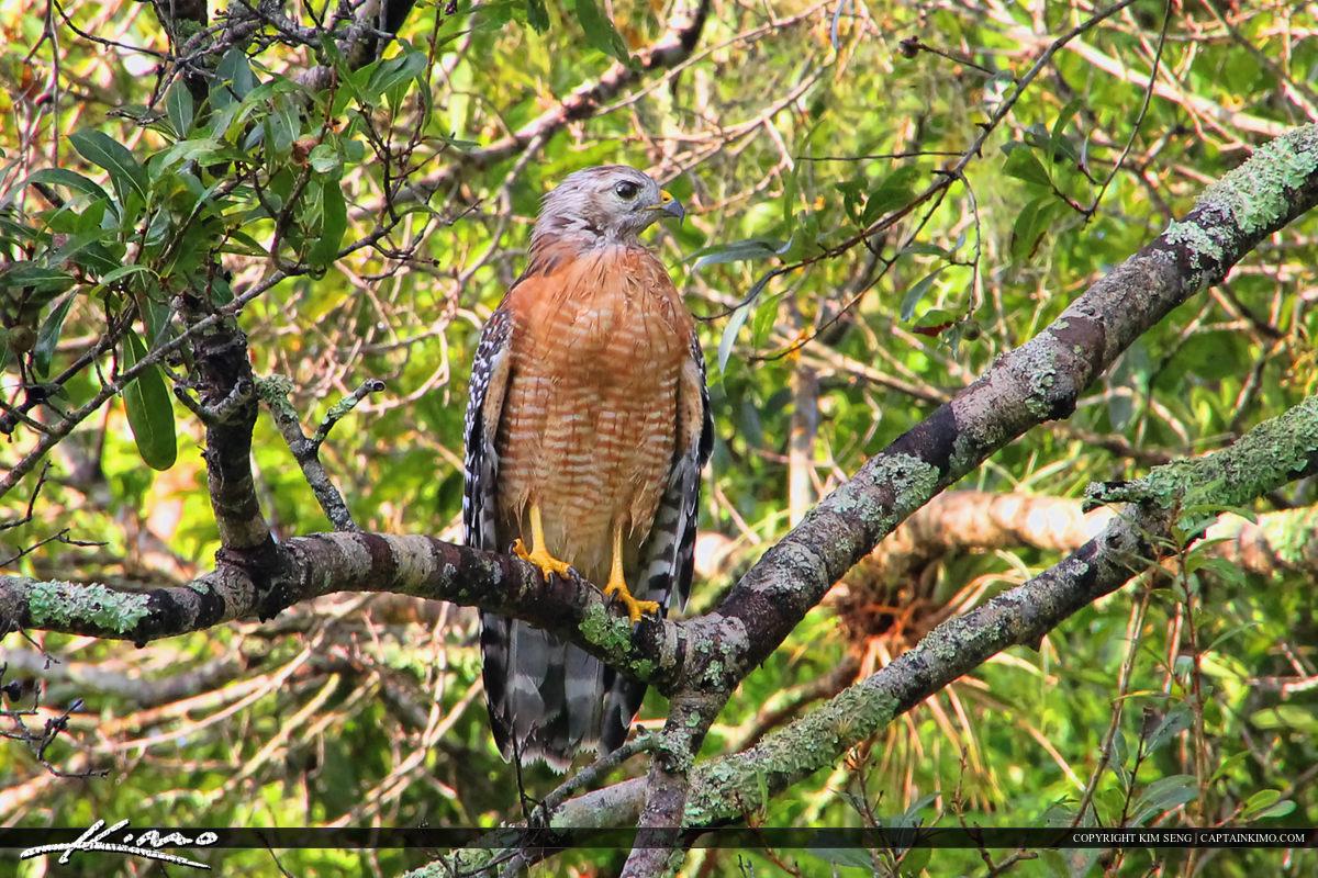 Red-shoulder Hawk Perch on Live Oak at Riverbend Park