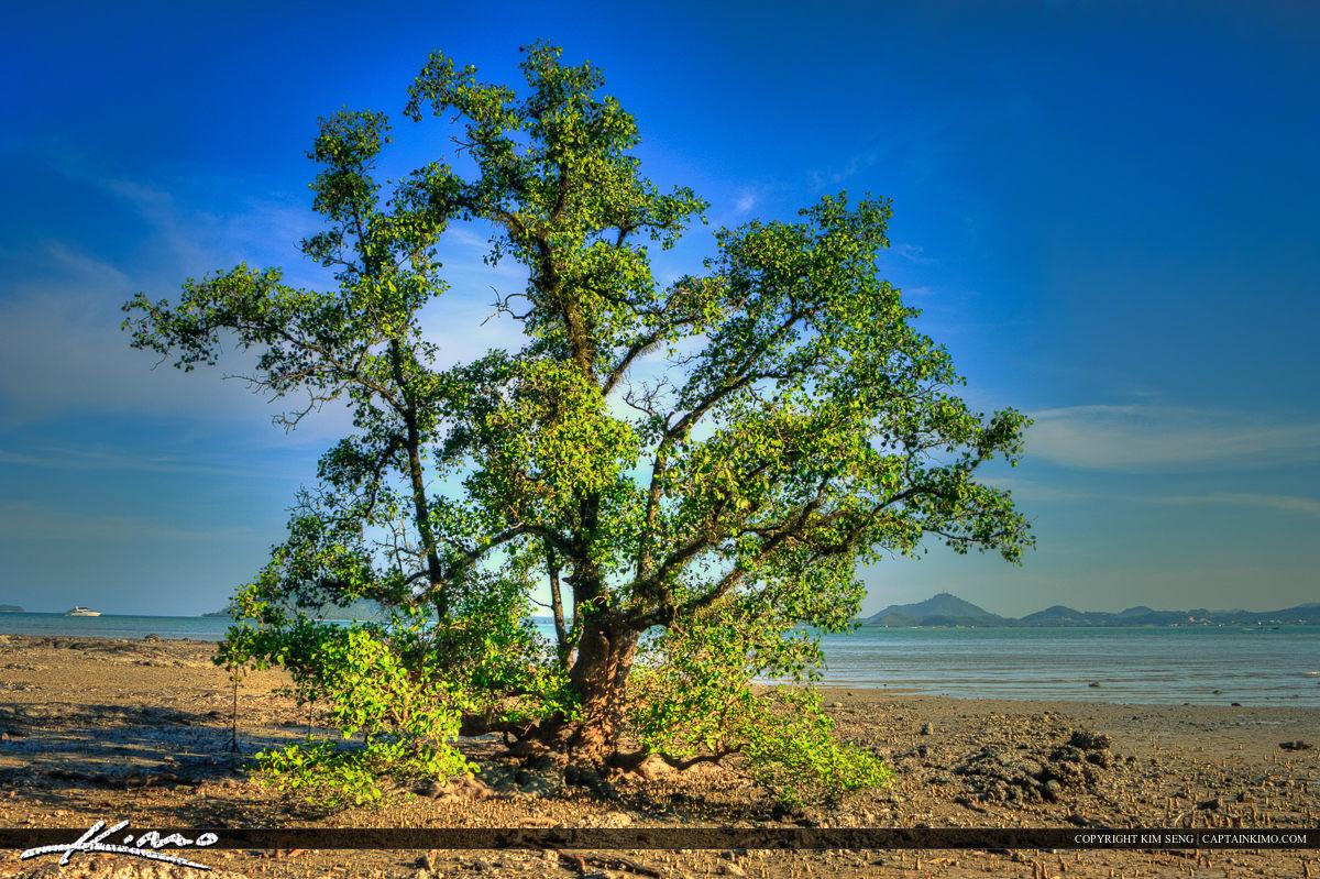 Lone Mangrove Tree at Cape Yamu Phuket Thailand