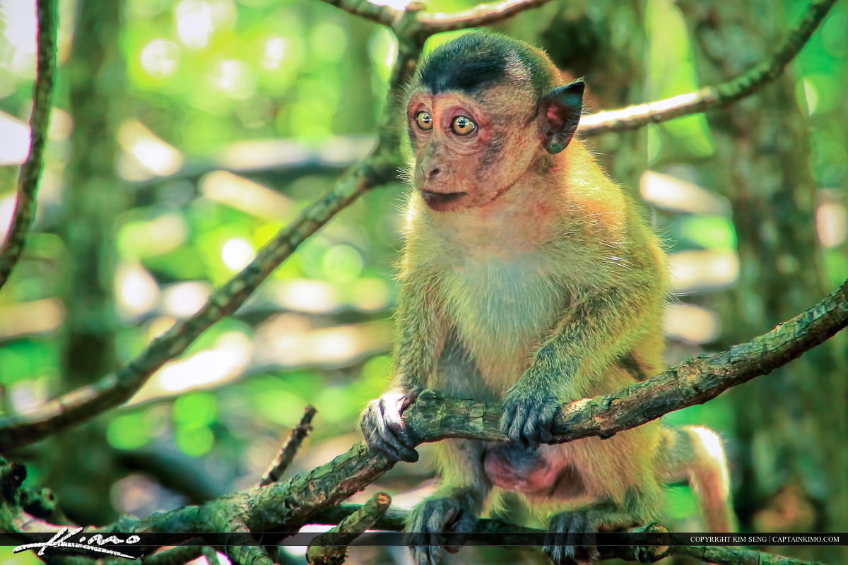 Baby Crab-eating Macaque In Mangrove Forest Phuket Thailand