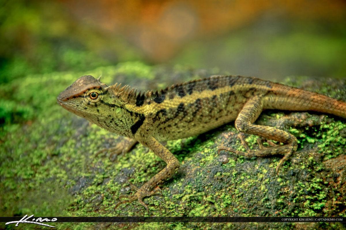Lizard Sitting on Rock at Bang Pae Waterfall Phuket Thailand