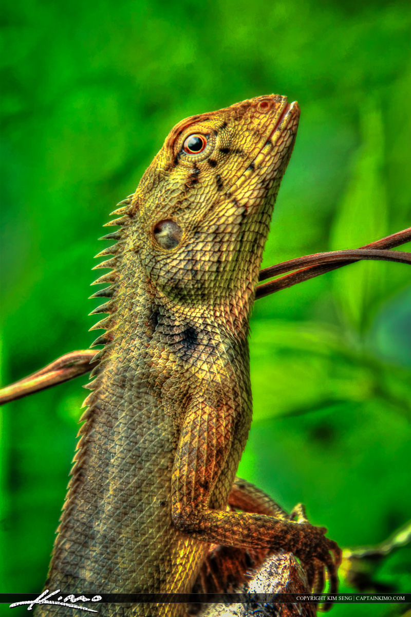 Lizard Striking a Pose from Forest in Phuket Thailand