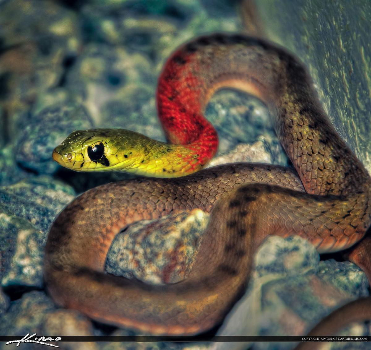 Red-necked Keelback Snake from Phuket Thailand