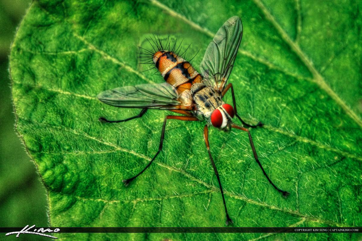 HDR Macro Fly from Phuket Thailand Sitting on Leaf