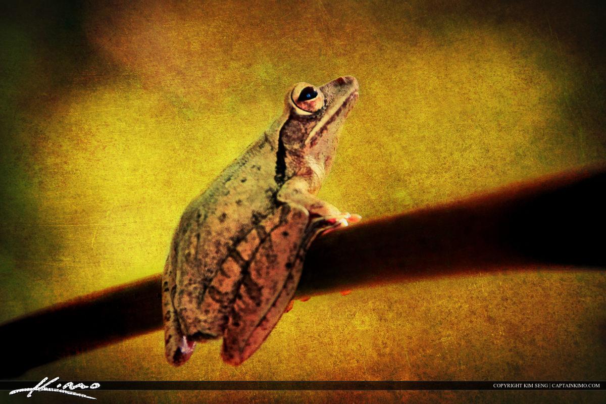 Small Tree Frog on Papaya Branch