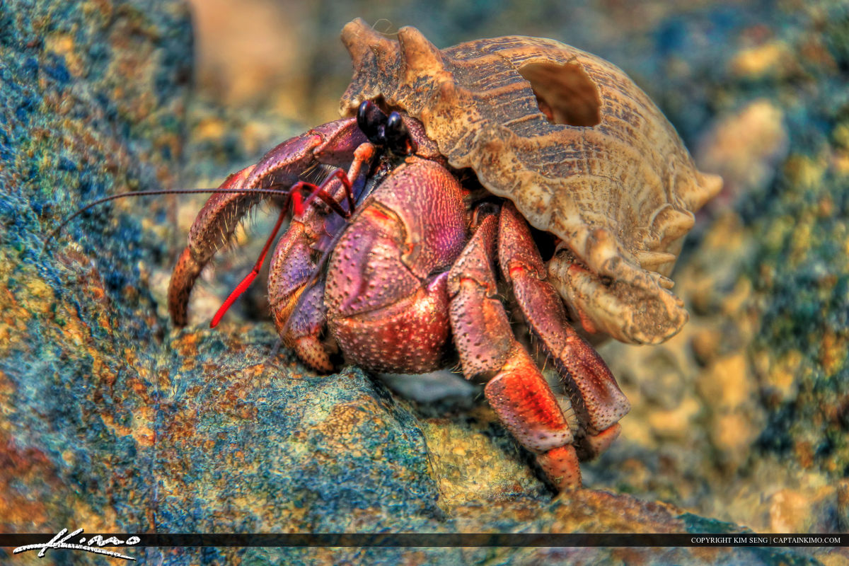 Hermit Crab from Coconut Island Thailand