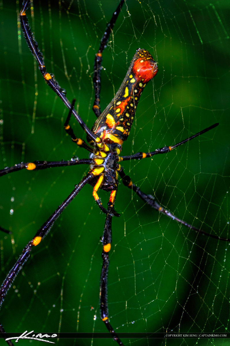 Macro Close Up Banana Spider in Web Phuket Thailand
