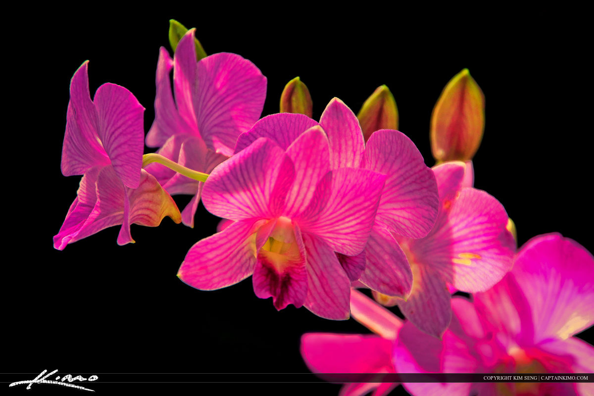 Purple Orchid Flower from Phuket Thailand