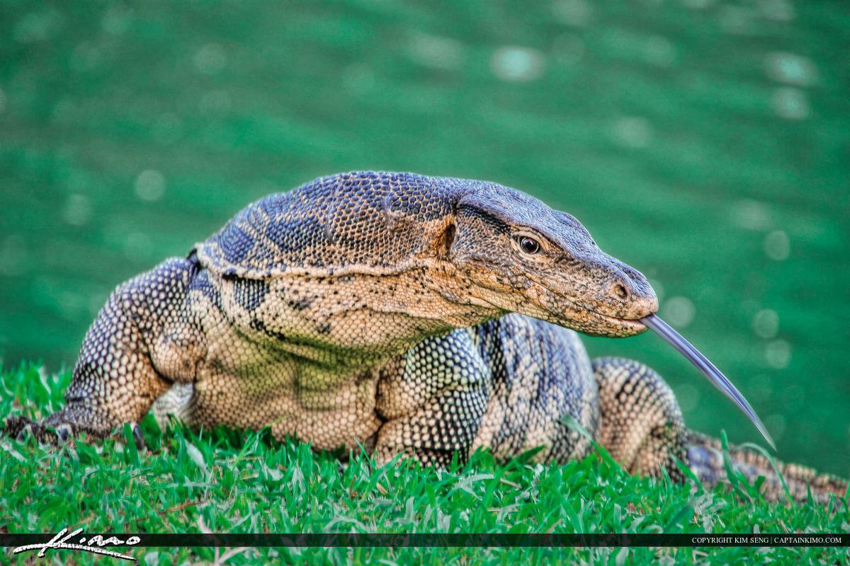 Monitor Lizard at Lumpini Park Bangkok Thailand