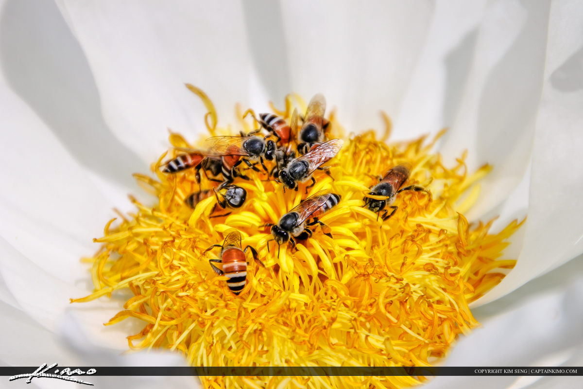 Bees On Flower Feeding from Bangkok Thailand