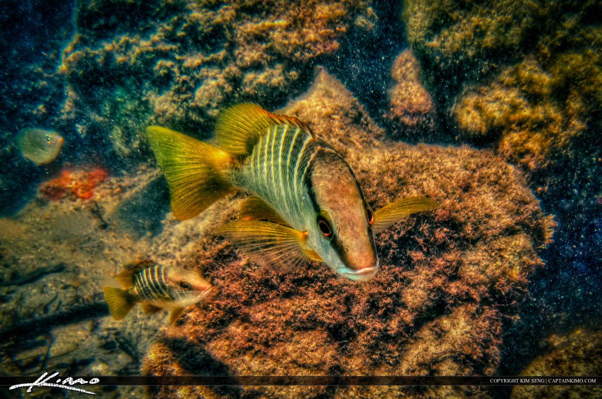Underwater Shot of a School Master Fish