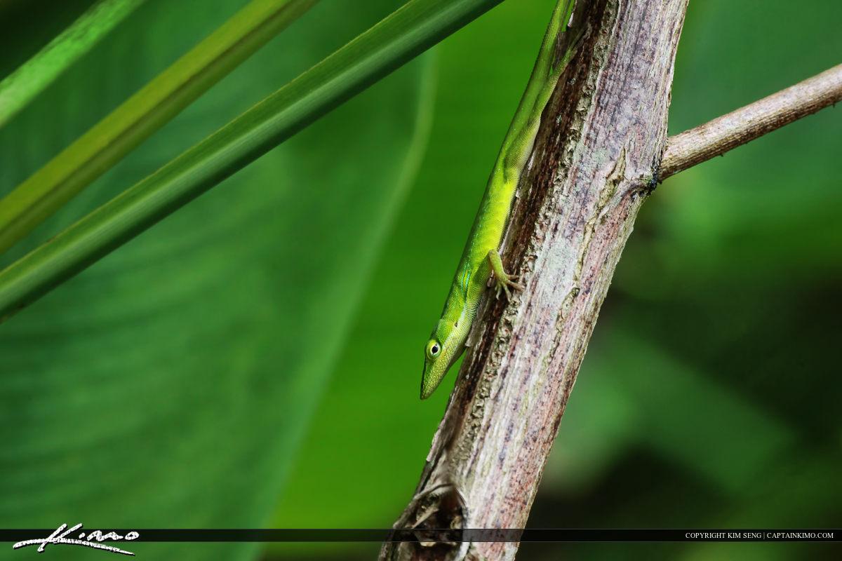 Florida Green Anole Lizard from Fakahatchee Strand Wetlands