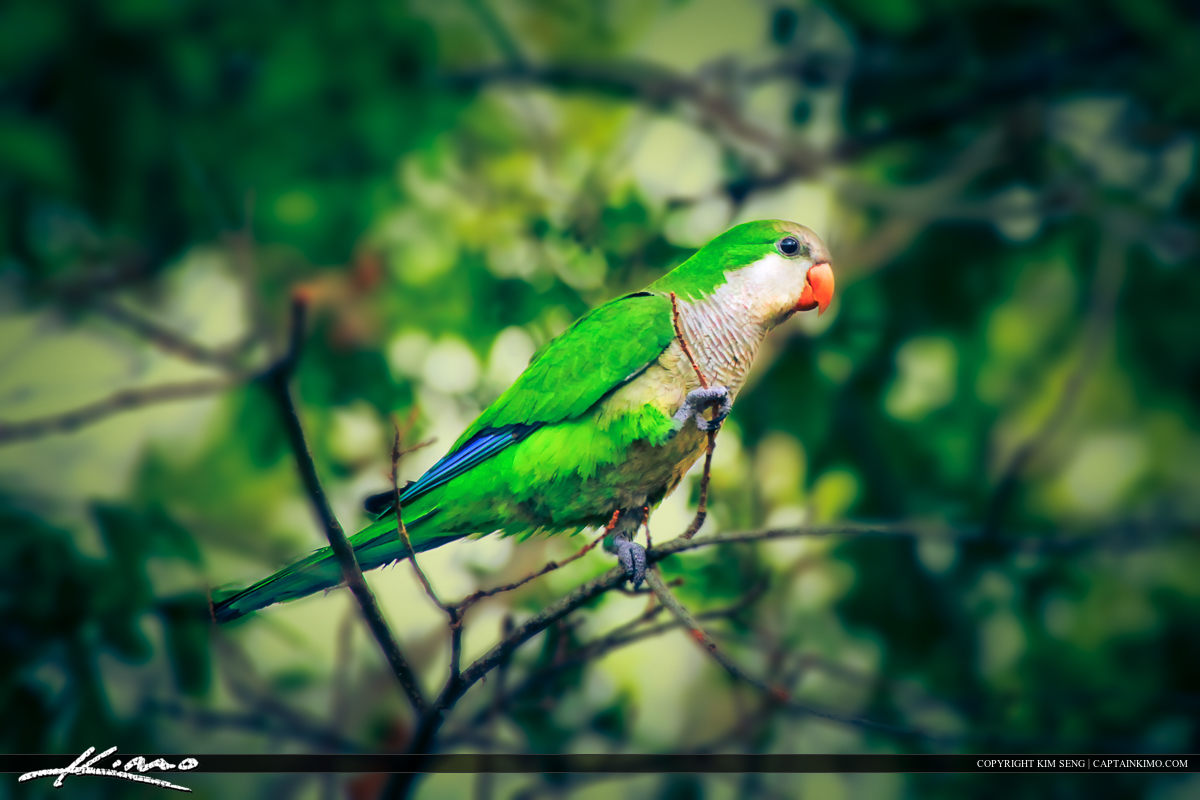 Wild Quaker Parakeet Looking for Nesting Material
