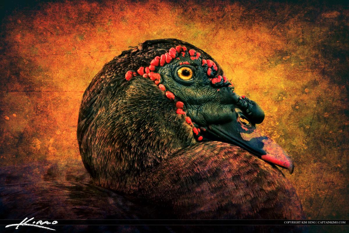 Muscovy Duck Portrait HDR Photo Texture