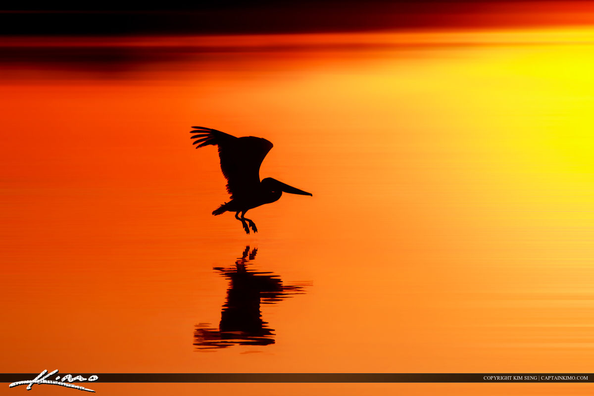 Pelican Flying Over Water During Sunset at Singer Island