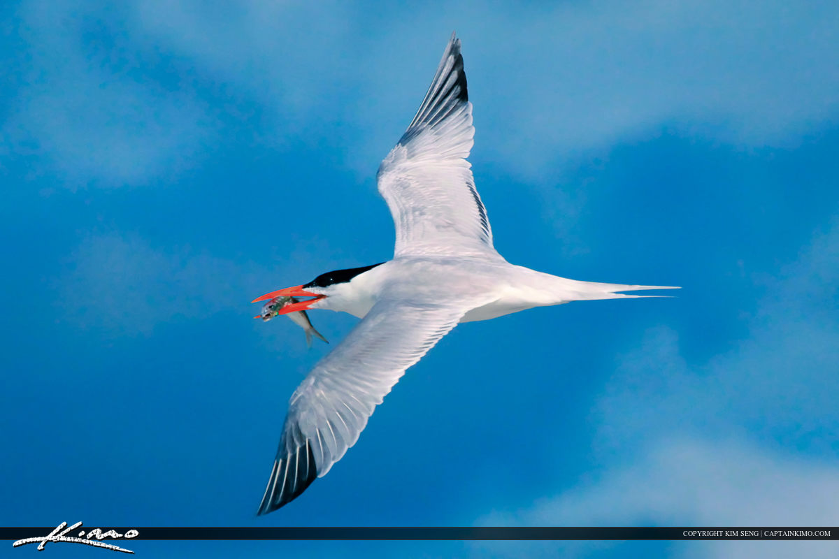 Caspian Tern Flying Over Fort Desoto Beach Park with Fish
