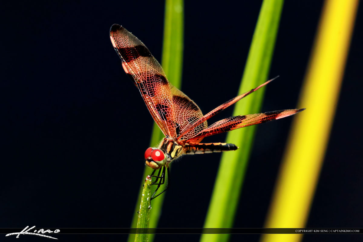 Dragonfly from Grassy Water Wetlands Preserve Florida