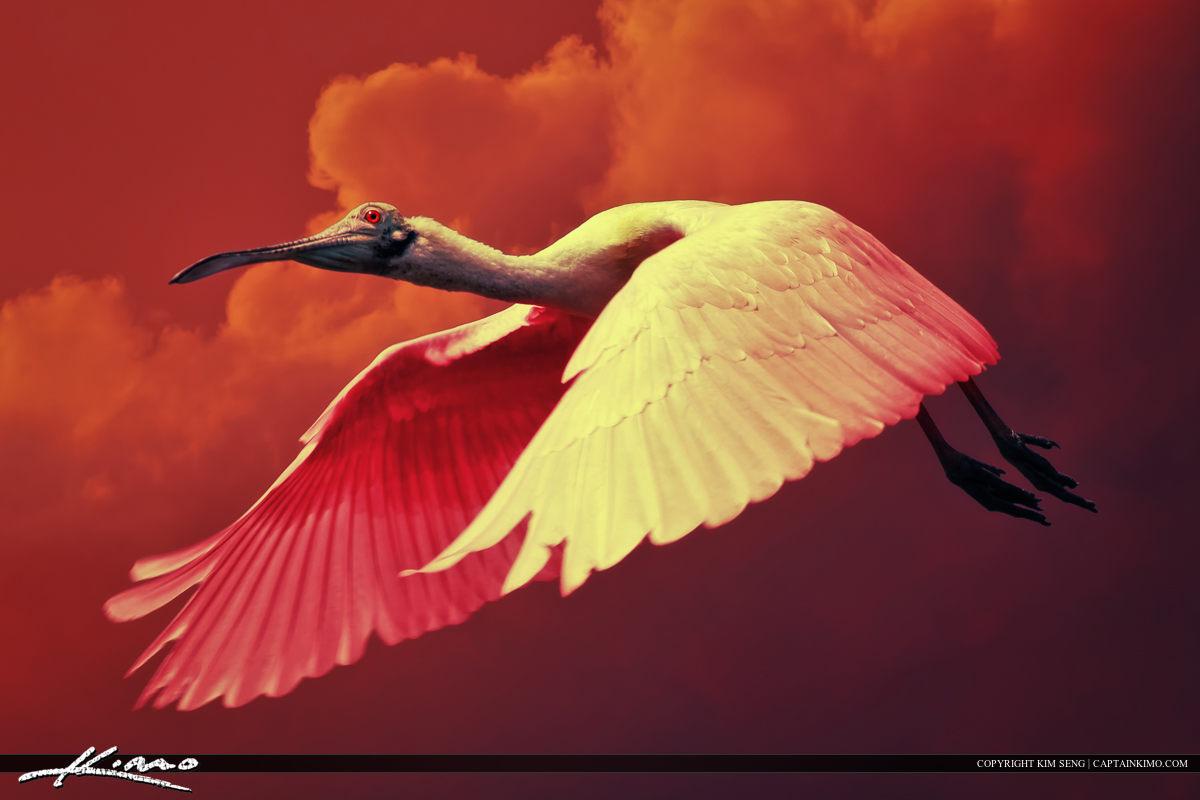 Roseate Spoonbill Bird Flying Over Florida Sky