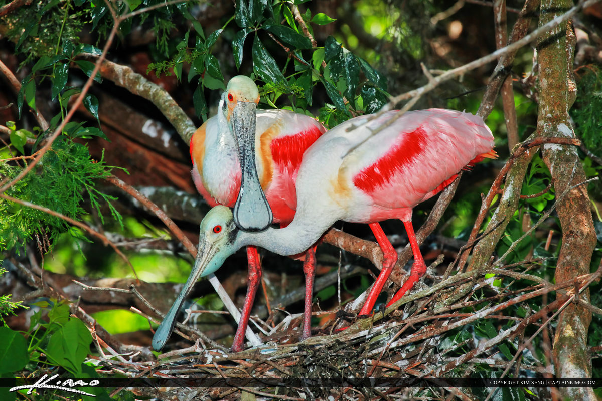 Pair of Roseate Spoonbill Nesting St Augustine Florida