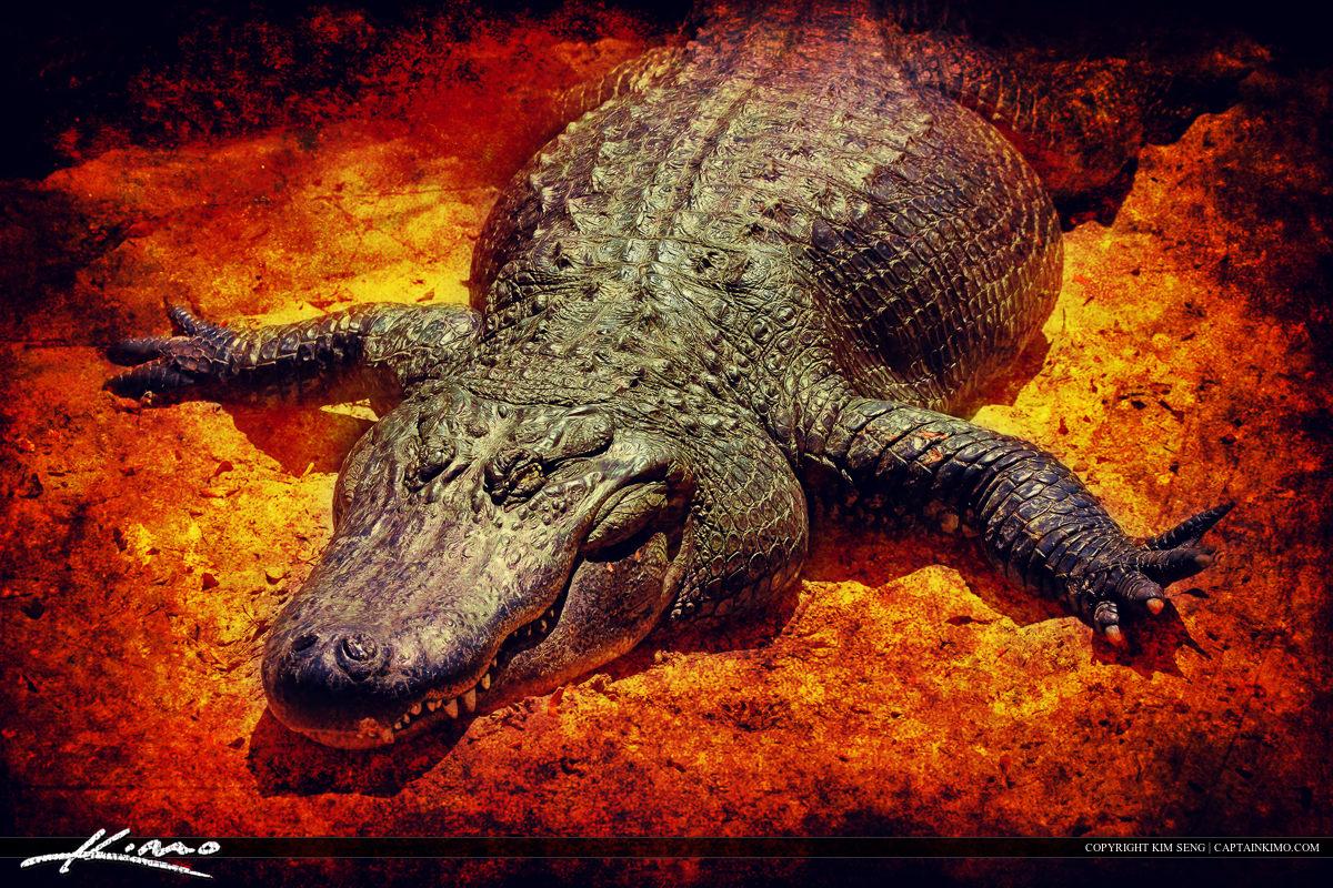 Big Fat Lazy Alligator Basking in the Sun