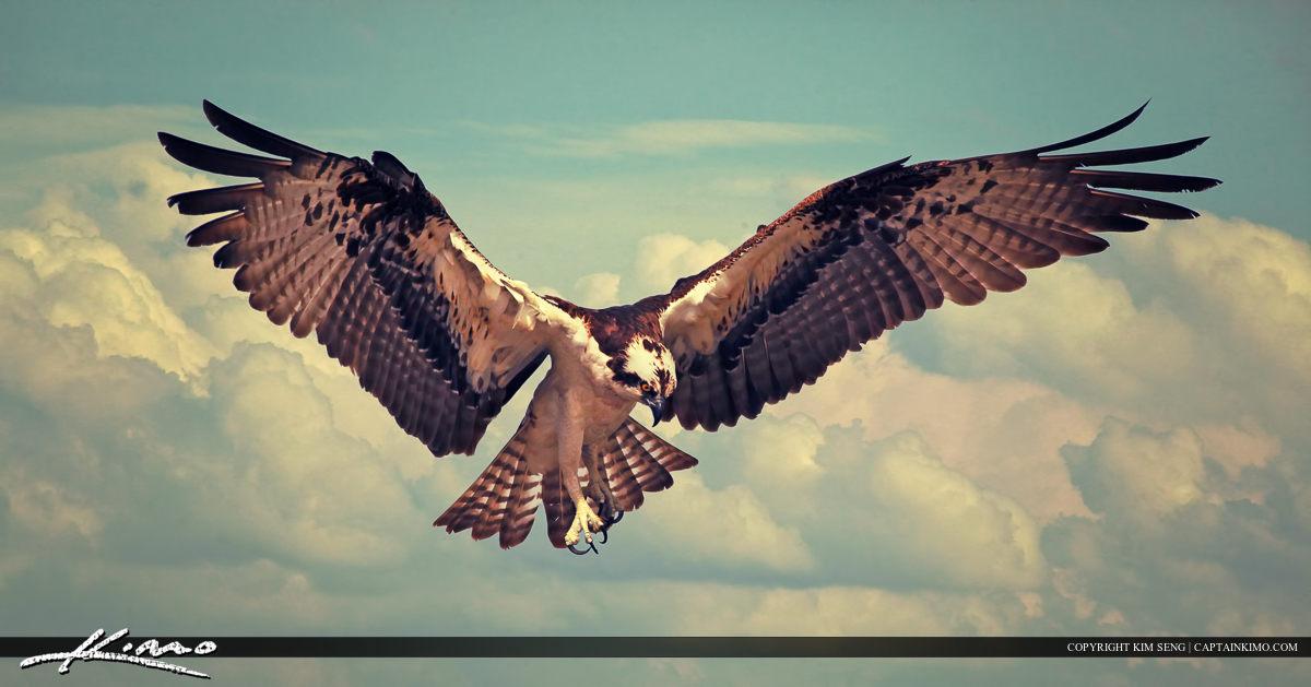 Osprey Bird Flying In For Landing Wing Spread