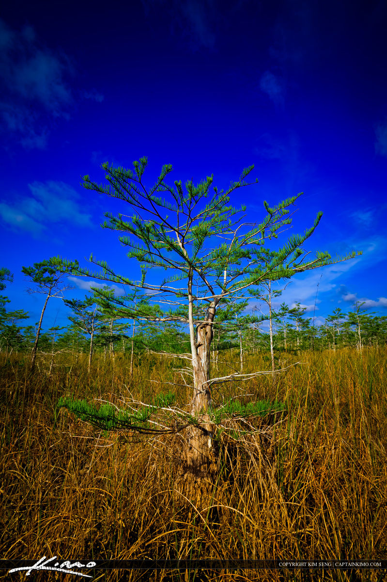 Small Cypress Tree at Everglades National Park