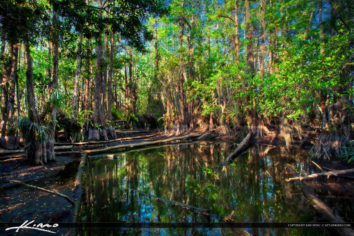 Cypress Dome Gator Hole Everglades National Park Florida