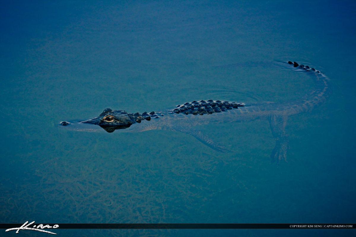 Florida Everglades Alligator at Lake