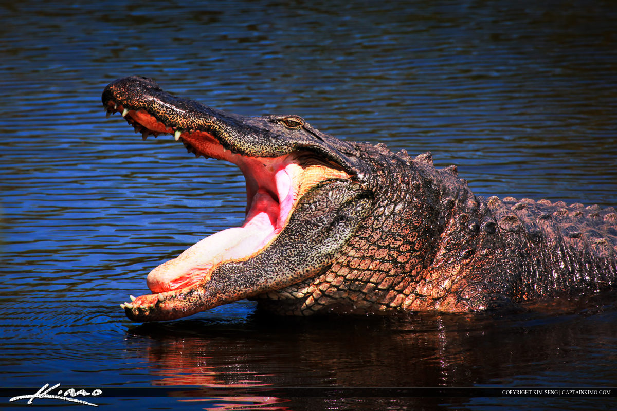 Large Florida Gator Yawning for Some Action Gatorland Orlando