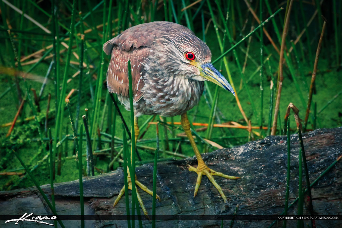 Immature Yellow-crowned Night Heron Waiting Patiently for Lunch