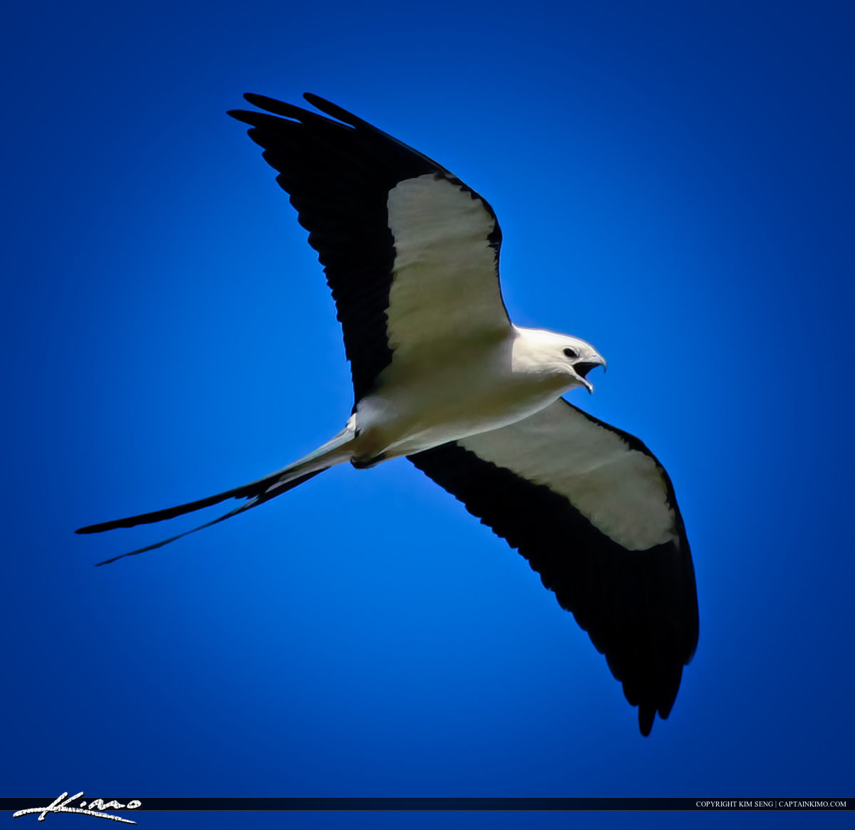 Swallow-tailed Kite Flying in Sky Looking for Food